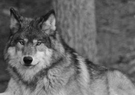 Crane Lake Wolves